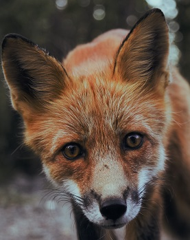 A fox face Photo by Sunyu on Unsplash