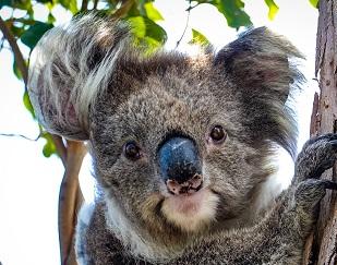 A koala Photo by Zizhang Cheng on Unsplash