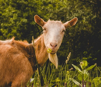 A goat Photo by Milana Jovanov on Unsplash