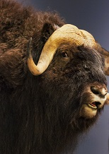 "A musk ox Sink me, Musk Ox thought. ""One did not think it possible to get silk at such prices!"""