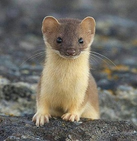 A stoat.