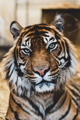 a tiger Photo by Ian Robinson on Unsplash