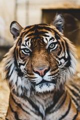 a tiger Photo by Ian Robinson on Unsplash