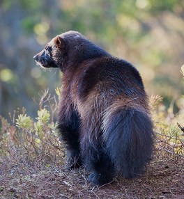 A wolverine Photo by Vincent van Zalinge on Unsplash