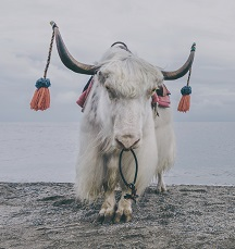 Yak Photo by Yunqing Leo on Unsplash