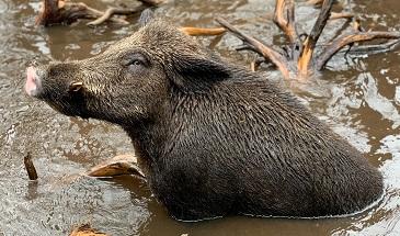 a boar Photo by Riley Bartel on Unsplash