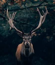a deer Photo by Philipp Pilz on Unsplash