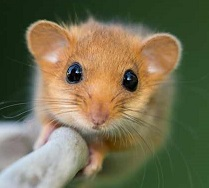 a dormouse Photo by Rots Marie-Hélène on Unsplash