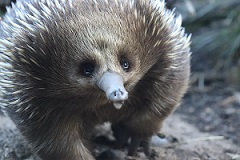 An echidna Photo by Chloe Booth on Unsplash