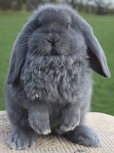 A French Lop