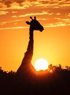 a giraffe Photo by Brian McMahon on Unsplash