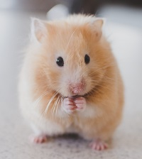 a hamster Photo by Ricky Kharawala on Unsplash