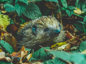 a hedgehog Photo by Tadeusz Lakota on Unsplash