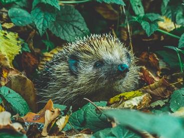 a hedgehog Photo by Tadeusz Lakota on Unsplash