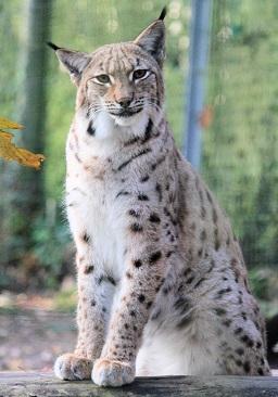 a lynx Photo by Dušan Smetana on Unsplash