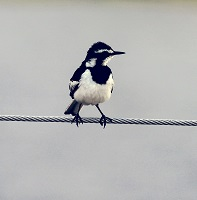 A magpie Photo by joel herzog on Unsplash