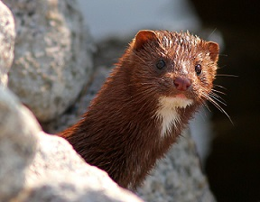 Photo of a mink.