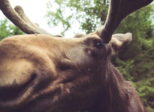 A moose Photo by Malte Wingen on Unsplash