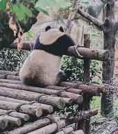a panda Photo by Ying Wu on Unsplash
