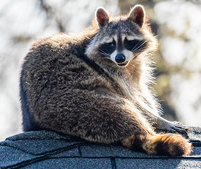 A raccoon Photo by Adam Muise on Unsplash