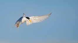 A tern Photo by Ray Hennessy on Unsplash