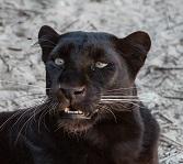 A Black Panther Photo by Ash Edmonds on Unsplash