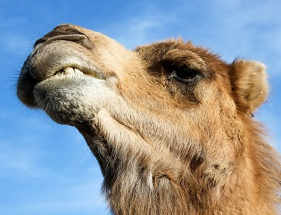 A Camel Photo by Hannah Troupe on Unsplash