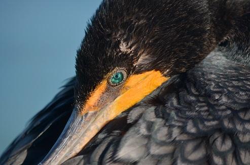 A cormorant Photo by Taylor Schultz on Unsplash