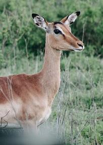A Gazelle Photo by Wade Lambert on Unsplash