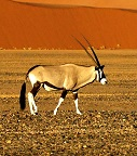 A gemsbok Photo by Joe McDaniel on Unsplash