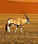 A gemsbok Photo by Joe McDaniel on Unsplash