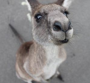 A kangaroo Photo by Iván Lojko on Unsplash