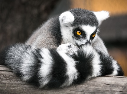 a lemur Photo by Uriel Soberanes on Unsplash