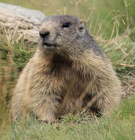 A Marmot Photo by Miguel Teirlinck on Unsplash