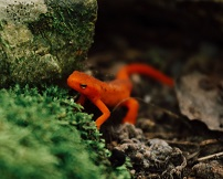 A newt Photo by Tyler Donaghy on Unsplash