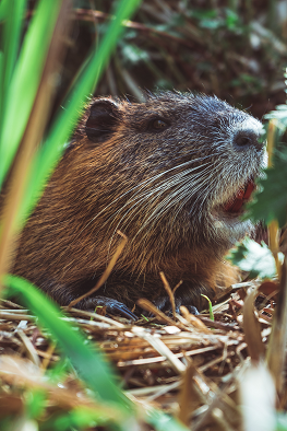 A Nutria Photo by Max Saeling on Unsplash