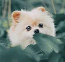 A Pomeranian Photo by ipet photo on Unsplash