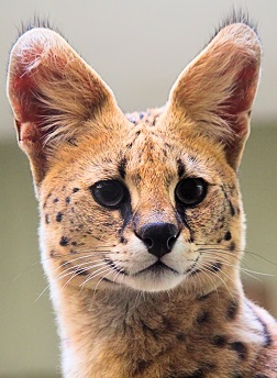 A Serval Photo by Dušan Smetana on Unsplash