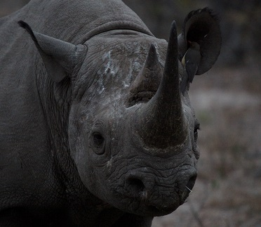 A Black Rhino Photo by Andy Martin on Unsplash