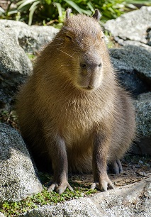 A Capybara Photo by Karen Lau on Unsplash