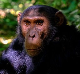 A Chimpanzee Photo by Francesco Ungaro on Unsplash