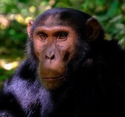 A Chimpanzee Photo by Francesco Ungaro on Unsplash