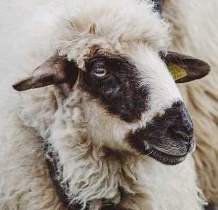 An Ewe Photo by Ciprian Boiciuc on Unsplash