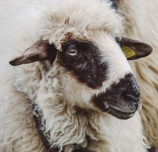 An Ewe Photo by Ciprian Boiciuc on Unsplash