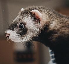A Ferret Photo by Steve Tsang on Unsplash
