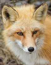 A photo of a golden fox