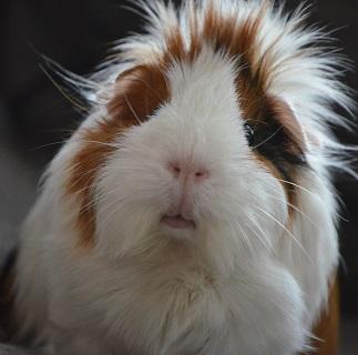 A Guinea Pig Photo by Karlijn Prot on Unsplash
