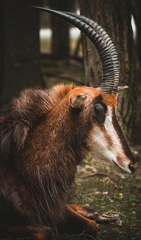 An Ibex Photo by Kyaw Tun on Unsplash