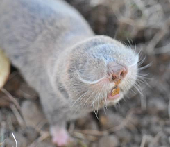 Photo of a Lesser Mole Rat