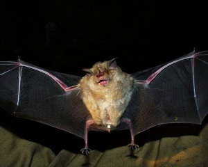 Photo of a a Long Fingered Bat